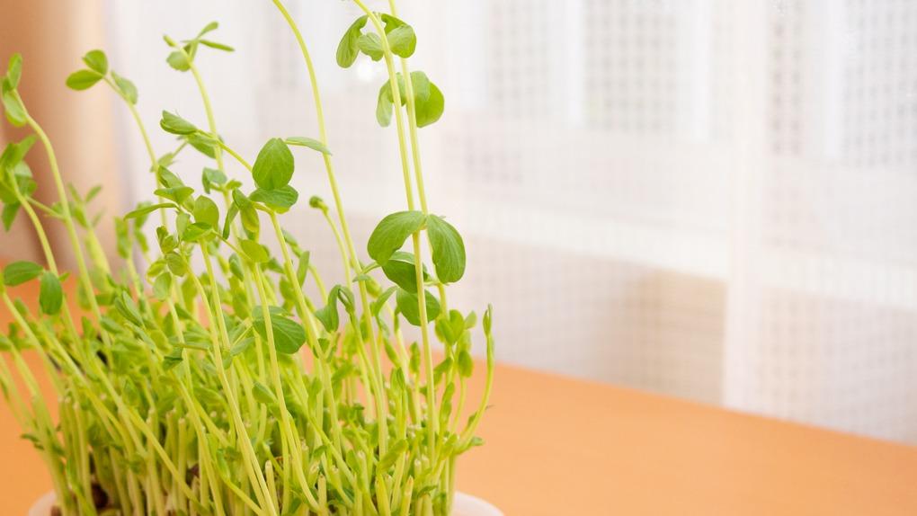 豆苗の再生栽培にチャレンジ!何日で食べられる?何回でも育てられる?